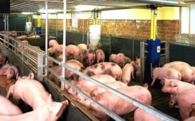 Pleuroneumonía infecciosa porcina.